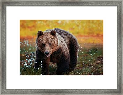 Brown Bear In Forest, Finland Framed Print by Laurenepbath