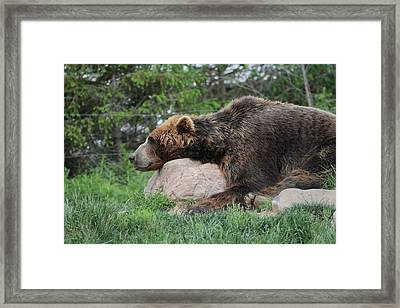 Brown Bear Nap Framed Print by Dan Sproul