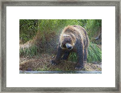 Brown Bear Shaking Water Off After An Unsucessful Salmon Dive Framed Print by Dan Friend