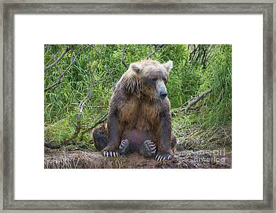 Brown Bear Sitting Waiting For Salmon Framed Print by Dan Friend