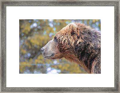 Brown Bear Smile Framed Print by Dan Sproul