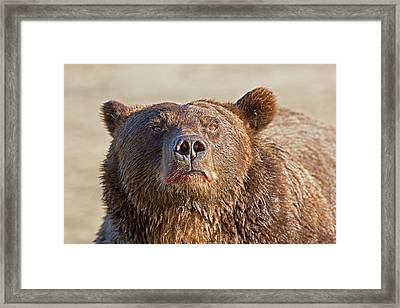 Brown Bear Sniffing Air Framed Print