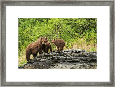 Brown Bear Sow And Cubs In Kukak Bay Framed Print