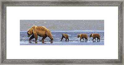 Brown Bear Sow And Her Three Cubs Framed Print by Richard Wear