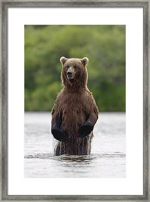 Brown Bear Sow Standing In River Framed Print by John Hyde
