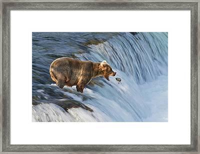 Brown Bear  Ursus Arctos Framed Print by Gary Schultz