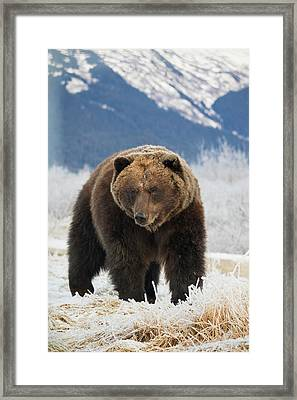 Brown Bear  Ursus Arctos  In The Frosty Framed Print by Doug Lindstrand