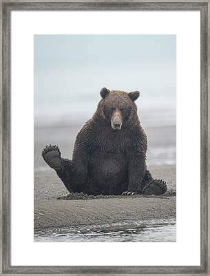 Brown Bear, Ursus Arctos, Sitting Framed Print by Bob Smith
