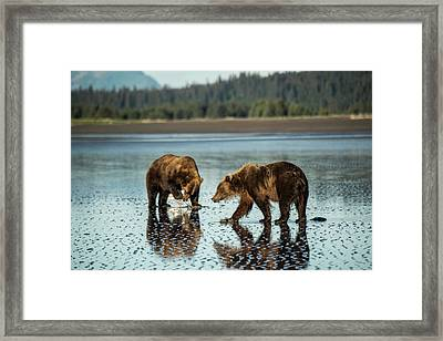 Brown Bear, Ursus Arctos, Walking Framed Print by Bob Smith