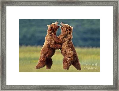 Brown Bears Sparring Framed Print by Frans Lanting MINT Images