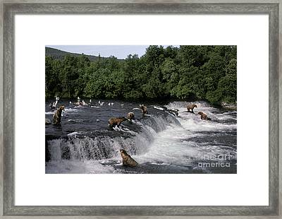 Brown Bears Ursus Arctos At Salmon Run Framed Print by Ron Sanford