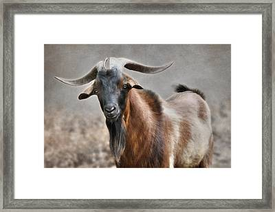 Brown Billy Goat Framed Print