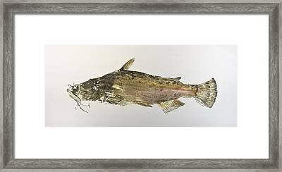 Brown Bullhead Catfish Framed Print by Nancy Gorr