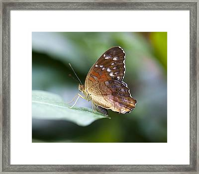 Brown Butterfly Framed Print by Kjirsten Collier