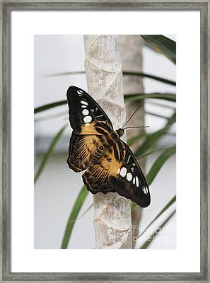 Brown Clipper Butterfly #2 Framed Print by Judy Whitton
