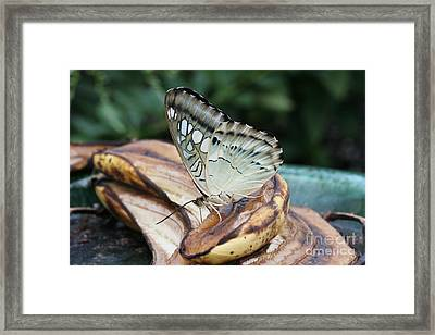 Brown Clipper Butterfly #3 Framed Print
