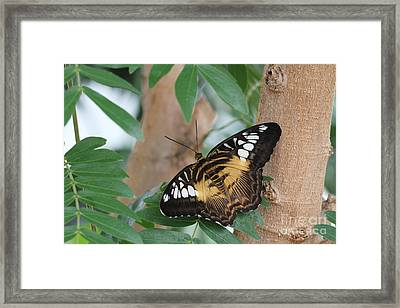 Framed Print featuring the photograph Brown Clipper Butterfly #5 by Judy Whitton