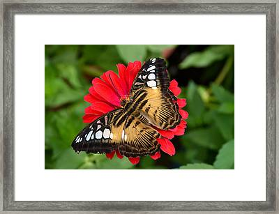 Brown Clipper Butterfly On Red Zinnia Framed Print