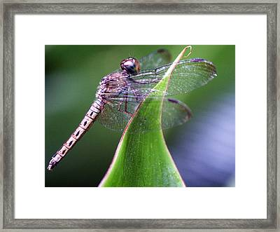 Brown Dragonfly Framed Print