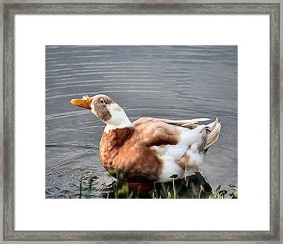 Brown Duck In Pond Framed Print by Lisa Williams