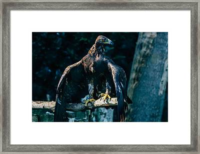 Brown Eagle Framed Print by Pati Photography