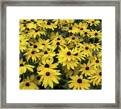 Brown Eyed Susans Framed Print by Penny Lisowski