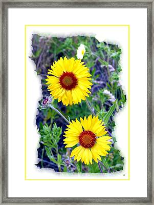 Brown- Eyed Susans Framed Print by Will Borden