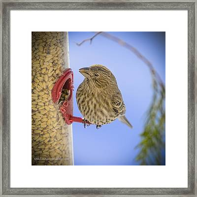 Brown Finch At The Feeder Framed Print