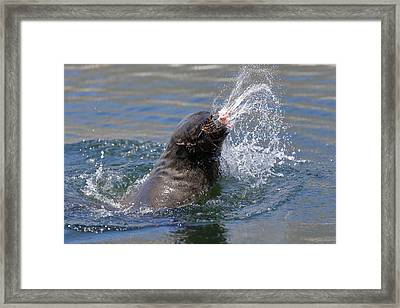 Brown Fur Seal Throwing A Fish Head Framed Print by Johan Swanepoel