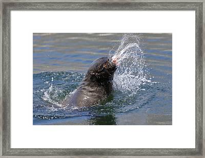 Brown Fur Seal Throwing A Fish Head Framed Print