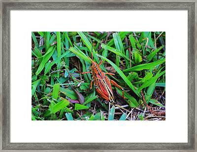 Brown Grasshopper Framed Print by Chuck  Hicks