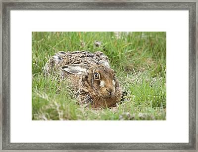 Brown Hare Framed Print by Philip Pound