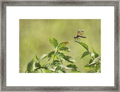 Brown Hawker Dragonfly Framed Print by Jason Politte