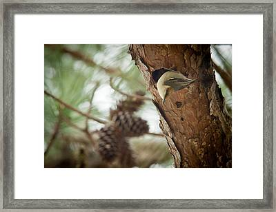 Brown Headed Nuthatch Framed Print by Linda Unger