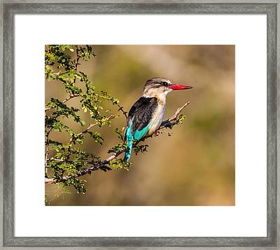 Brown Hooded Kingfisher Framed Print by Craig Brown