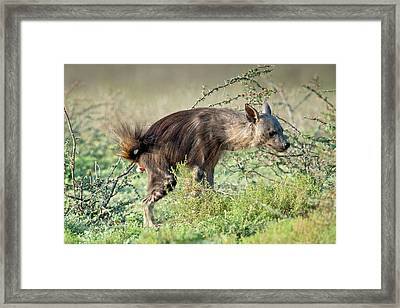 Brown Hyena Scent Marking Its Territory Framed Print