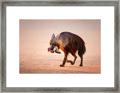 Brown Hyena With Bat-eared Fox In Jaws Framed Print by Johan Swanepoel