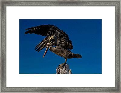 Brown King Pelican Framed Print by Kristine Patti