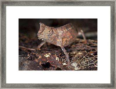 Brown Leaf Chameleon Framed Print