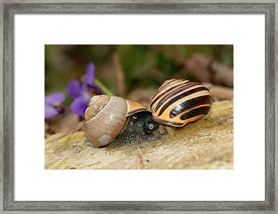 Brown-lipped Snails Mating Framed Print