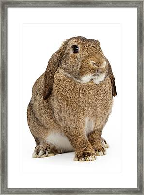Brown Lop-earred Rabbit Isolated On White Framed Print by Susan Schmitz