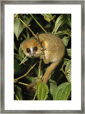 Brown Mouse Lemur  Madagascar Framed Print by Konrad Wothe
