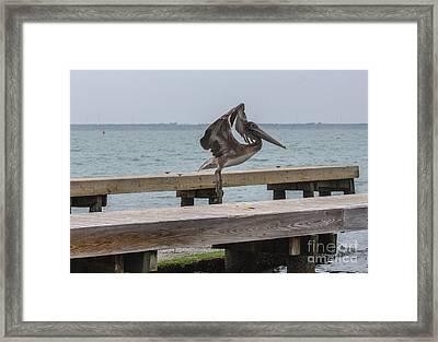 Brown Pelican 1 Framed Print