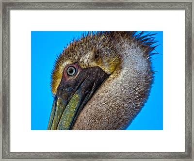 Brown Pelican Framed Print by Betsy Knapp