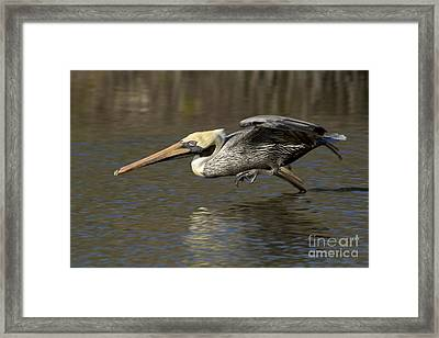 Framed Print featuring the photograph Brown Pelican Fishing Photo by Meg Rousher