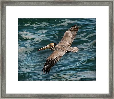 Framed Print featuring the photograph Brown Pelican Flying 1 by Lee Kirchhevel