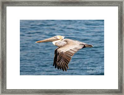 Brown Pelican Flying Framed Print by Darleen Stry