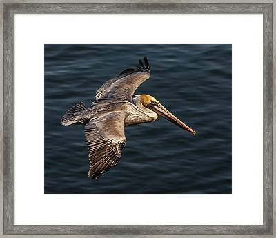 Framed Print featuring the photograph Brown Pelican Flying by Lee Kirchhevel