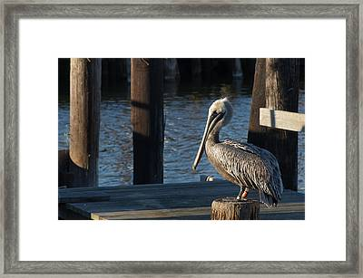 Framed Print featuring the photograph Brown Pelican by Gregg Southard
