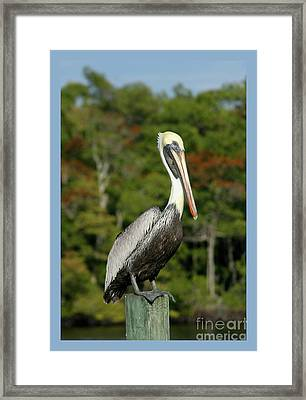 Brown Pelican Framed Print by Heidi Hermes